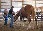 northeast draft009003  draft mare I worked on and then had Danvers Child repeat the same process