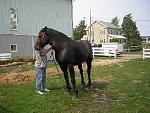 northeastdraft album001001  Percheron Gelding I traveled to State College, Pa. to school when their farrier could stay under him.  Great people everyone one of them.