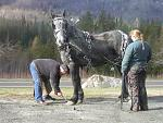 dafts%20i%20work%20on%20023  4 yr old Percheron mare used for trail riding/sleigh driving/to pull a bob sled during sugaring in Vermont