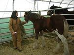 Clydesdale colt in Danville Vermont I trim