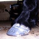 Friesian/Arab in flat shoes
